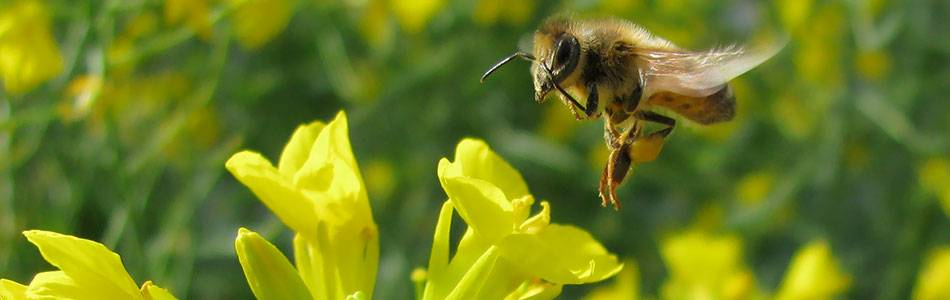 Bee pollinating canola flower