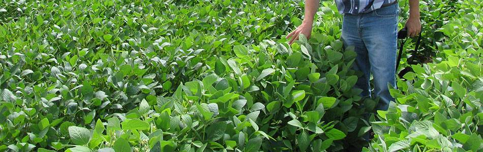 Visit your soybean field regularly