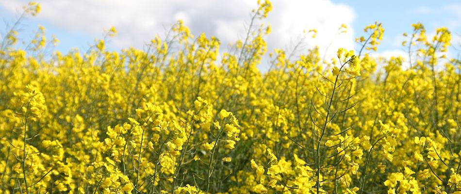 Canola field in flower
