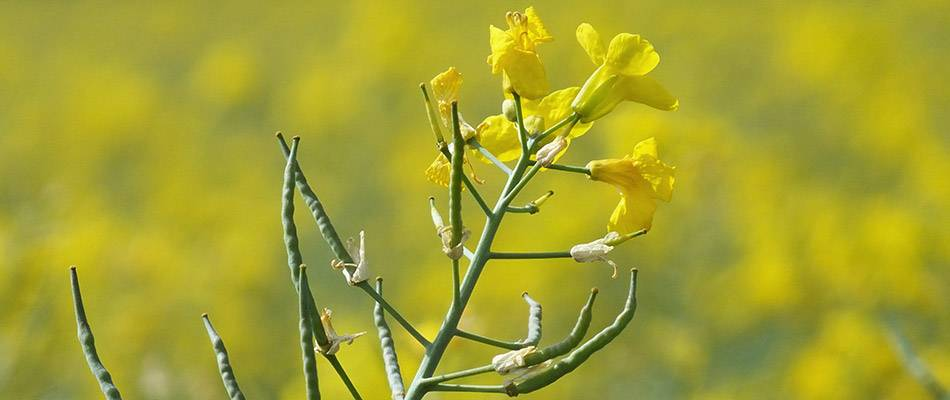 Canola plant with flowers and seed pods
