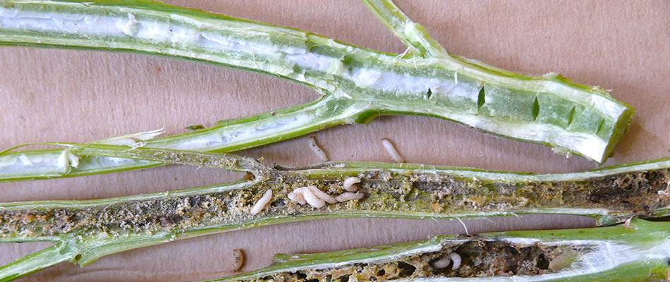Healthy canola stem vs weevils in stem