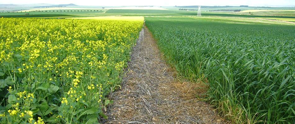 Crop rotation: canola and wheat