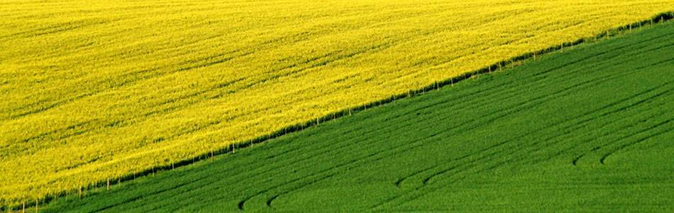 Canola in crop rotation