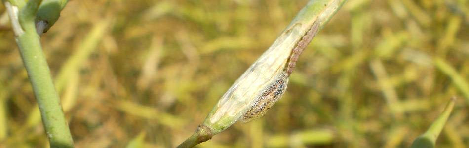 Damage on canola caused by diamondback moth