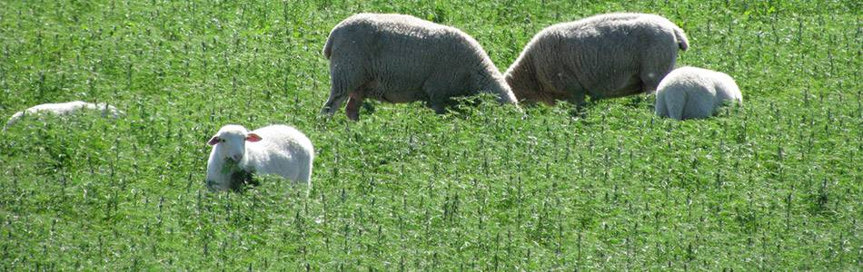 Sheep grazing in lupin field