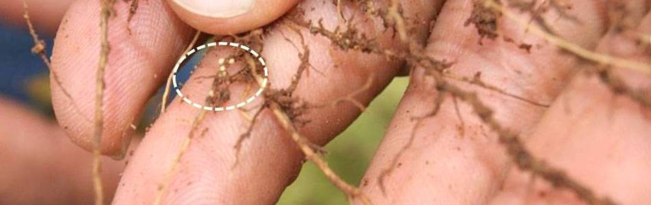 Cyst nematodes on soybean plant roots in Brazil